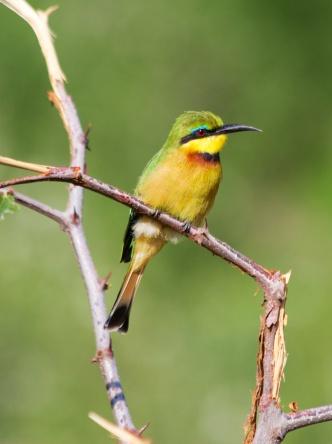 Little Bee-eater-Lake Manyara