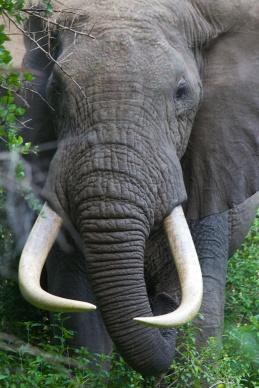 Elephant-Lake Manyara