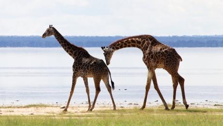 Giraffes-Lake Manyara