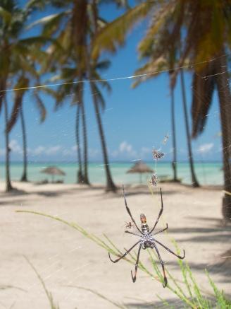 Nephila spider-Zanzibar