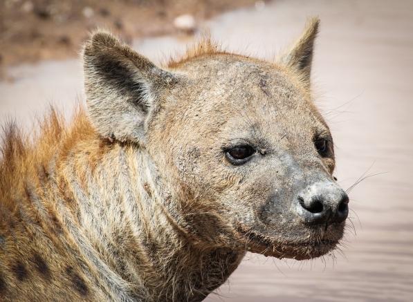 Hyaena-Amboseli