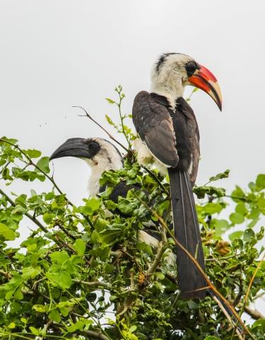 Von der Decken´s Hornbill