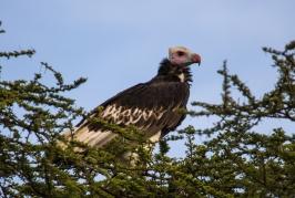 White-headed Vulture